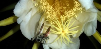 Carpenter bee with pollen collected from Night-blooming cereus, paniniokapunahoa, papipi pua (Cactaceae)