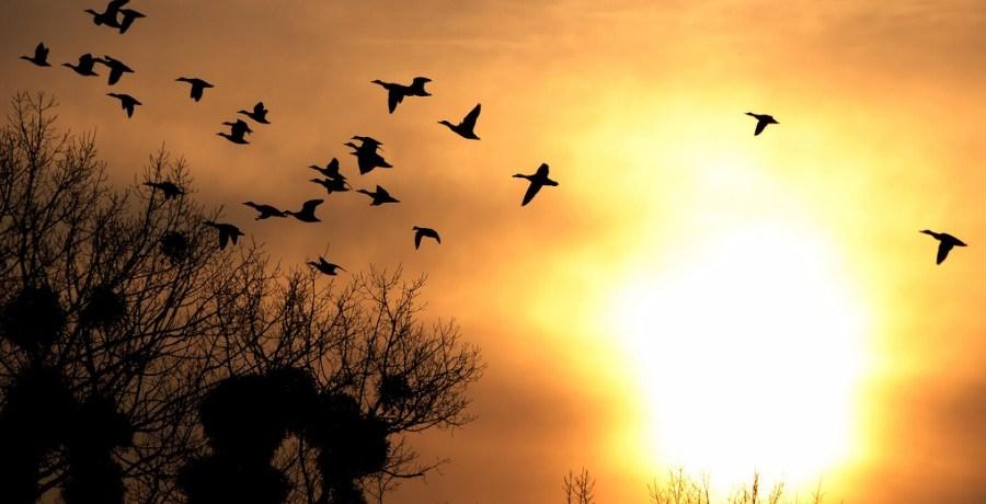 Ducks over mistletoe