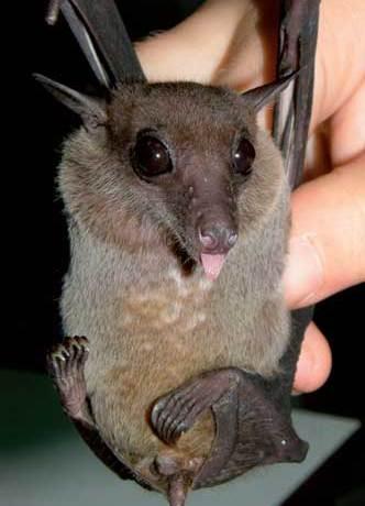 Eonycteris spelaea, a common nectar bat and important pollinator in Thailand.