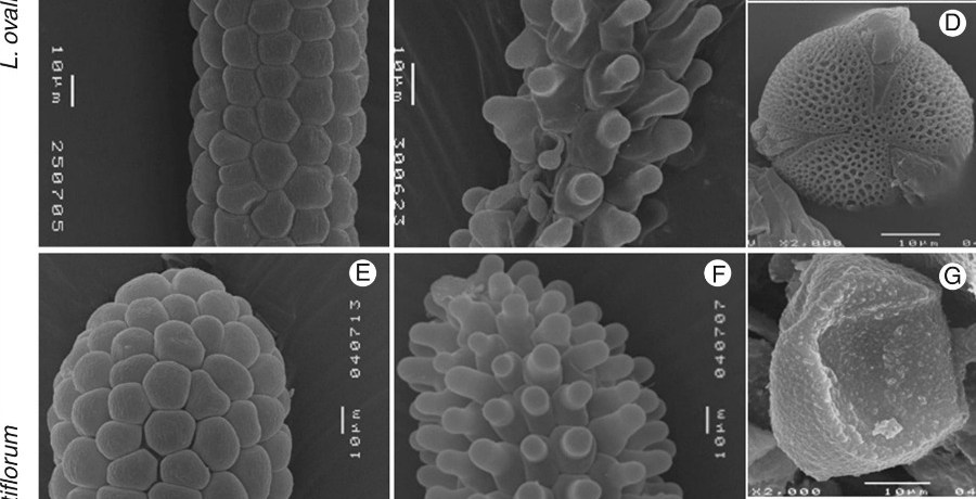 Scanning electron microscope photographs of Limonium ovalifolium and L. multiflorum stigmas and pollen grains.