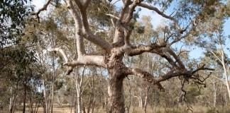 Eucalyptus viminalis cygnetensis