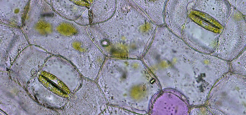Guard cells around stomata
