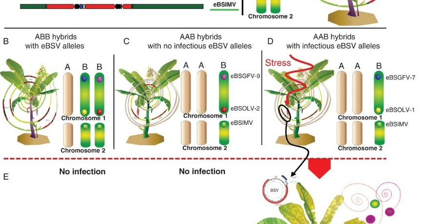 Schematic eBSV representation within the seedy diploid PKW banana plant (BB) and interspecific hybrids (ABB, AAB).
