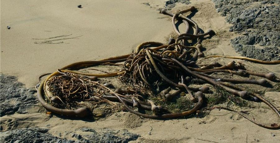 Bull kelp marks the tide line