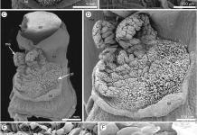 Micromorphology of a hand-pollinated flower of Epipogium aphyllum (SEM).