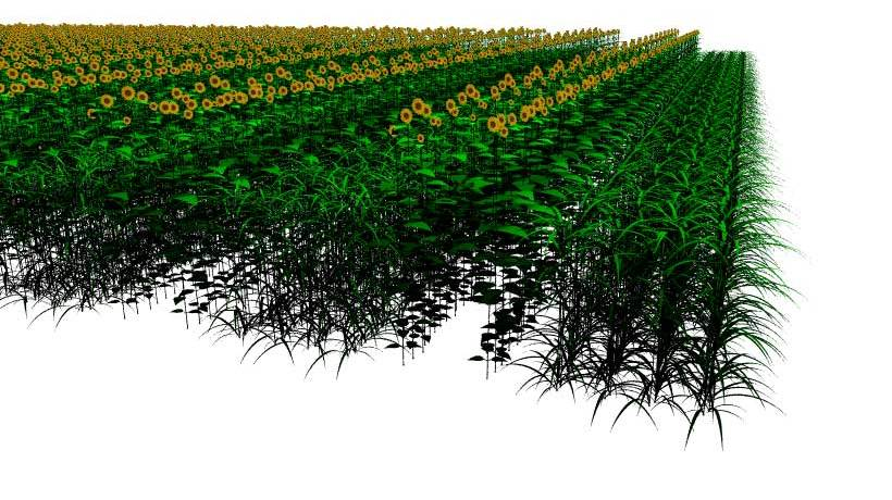 A simulated field of a mixed crop system consisting of maize and sunflowers, created using the principle of functional-structural plant modelling.