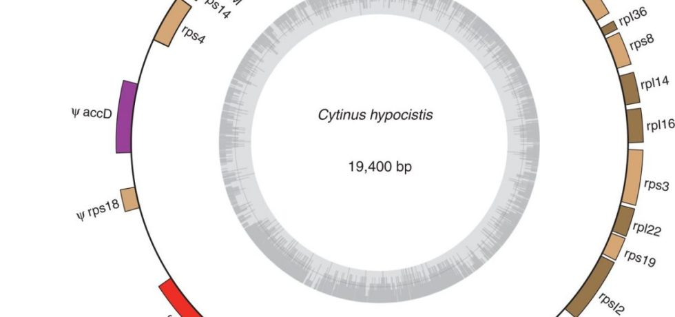 Chloroplast genome map of Cytinus hypocistis showing annotated genes.