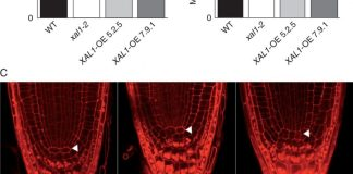 Overexpression of XAL1 is sufficient to promote root cell proliferation.