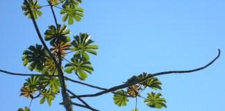 Cecropia pachystachya