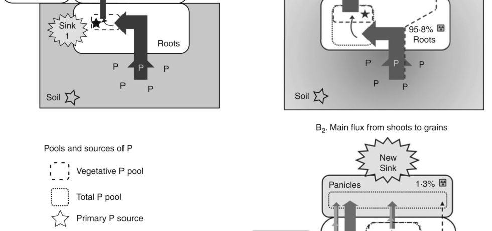 Proposed model of upward P fluxes in rice plants before (A) and after (B) flowering.