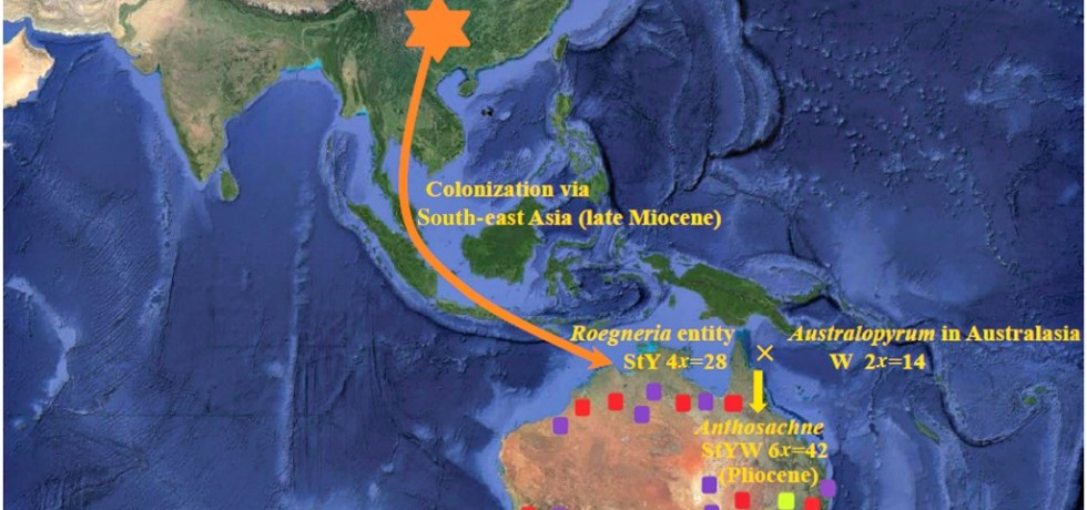 Scheme de monstrating the process of the colonization of Roegneria entity during the late Miocene, the speciation of Anthosachne polyploids during the Pliocene and subsequent range expansions within the A. australasica complex.