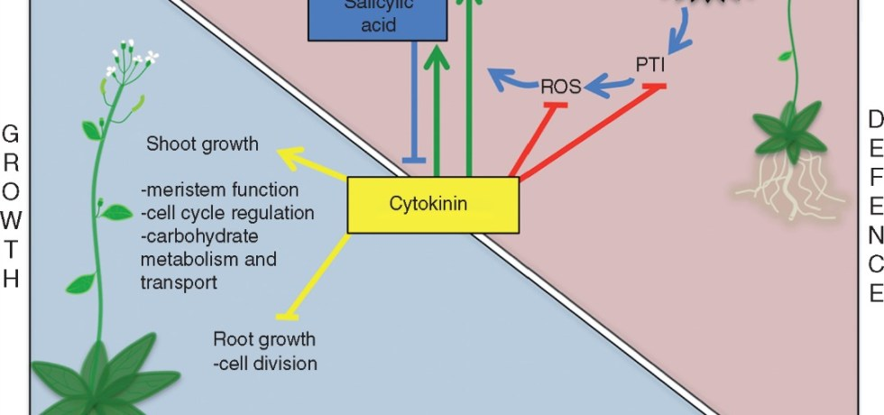 Schematic representation of the role of cytokinins in plant growth and defence against biotrophic pathogens, and in the growth–defence trade-off.