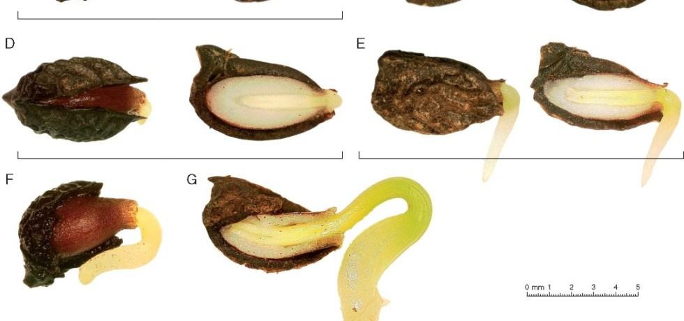 Reconstructed chronological sequence of Amborella trichopoda seed germination