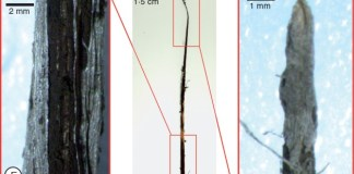 Stages of soral development in the 'RB925345' sugarcane cultivar..