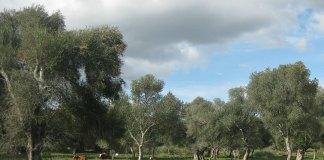 An olive grove
