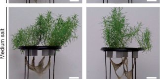 Phenotype of Suaeda maritima grown under different salt concentrations and normoxic and hypoxic conditions
