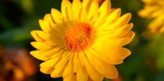 Xerochrysum bracteatum, commonly known as the golden everlasting or strawflower