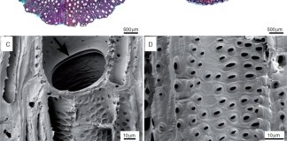 Wood anatomical sections of Nepenthaceae