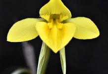 Diuris flower.