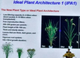 Jia-Yang Li is all for rice Superdomestiction: define your traits, then find the genes like IPA1 ideal plant architecture