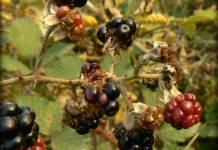 Rubus subgenus Rubus