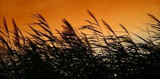 Miscanthus under the sun