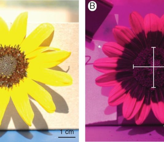 Sunflower heads in normal and UV light