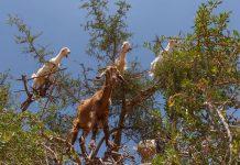 Goats in an argan tree