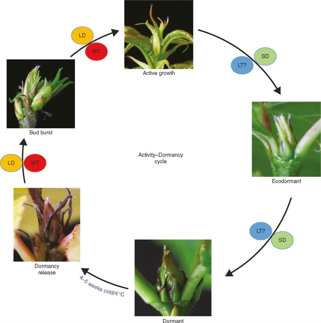 Molecular mediation of photoperiodic control in activitydormancy