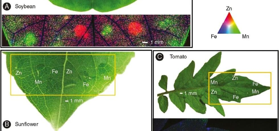 Zn, Mn, and Fe distribution (after 6h of foliar application) in control leaf of soybean (A) and tomato (C), and 1 mM methyl jasmonate (MeJA)-treated leaf of sunflower (B).
