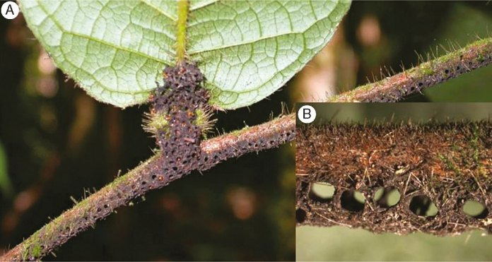 Hirtella physophora branch bearing mature leaves with ant domatia (leaf pouches located at the base of the lamina where the associated ants nest) and the gallery under the stem that the ants use as a trap to ambush prey.