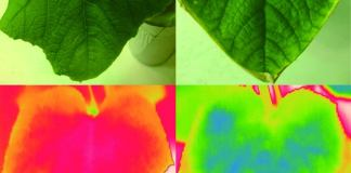 Wild cucumber leaves under thermal imaging