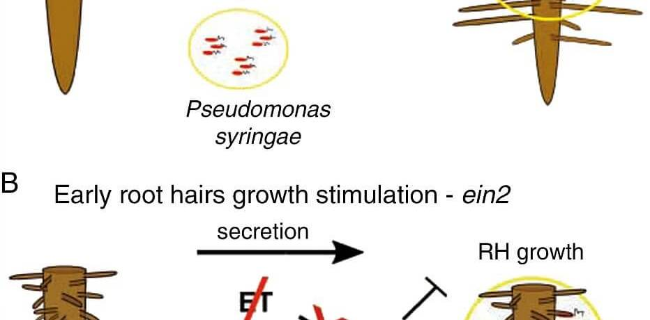 Model of stimulation of root hair growth by Psm/Pst and role of four phytohormonal/immunity sectors in this model.