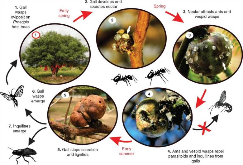 Life cycle of Eschatocerus acaciae galls on Prosopis sp. trees and their interaction with nectar consumers and natural enemies in La Rioja, Argentina.