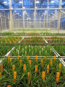 A Big Experiment in a glasshouse at Rothamsted Research.