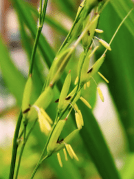 A panicle of wild rice