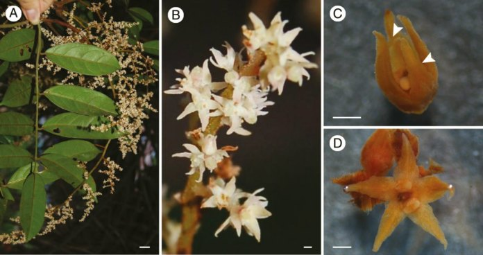 Inflorescence and mature flowers of a representative species of Ophiocaryon
