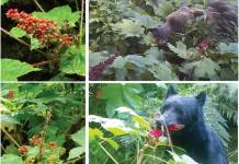 A bear eating berries
