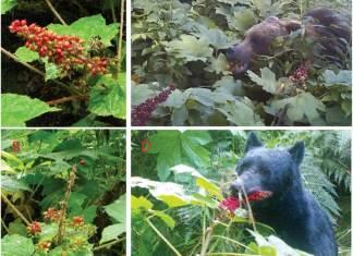 A bear eating berries