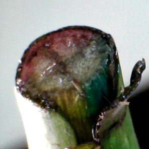 Stained rose stem