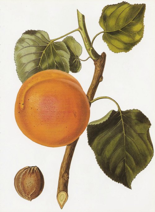 Apricot painting