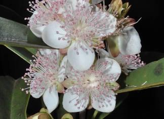Eugenia involucrata (Sect. Phyllocalyx)