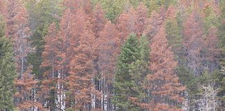 Trees attacked by Mountain Pine Beetle