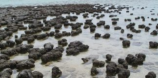Stromatolites growing in Hamelin Pool Marine Nature Reserve, Shark Bay in Western Australia