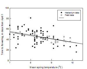 Comparing flowering dates of the early-spider orchid against mean temperatures, using two data sets.