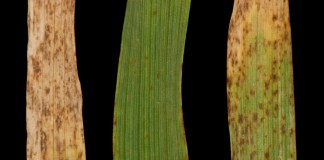 Typical disease symptoms on Braemar (i), Power (ii) and Golden Promise (iii) 21 days post-inoculation.