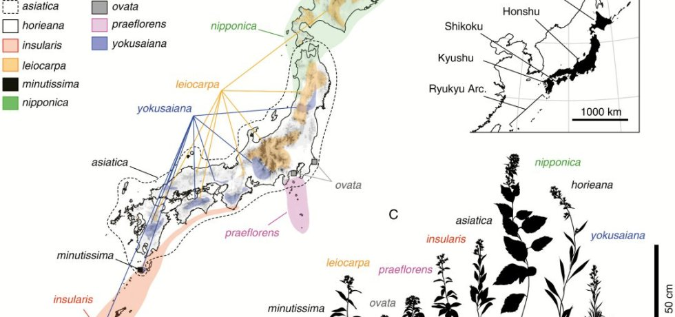 Distribution of the Solidago virgaurea complex in the Japanese Archipelago