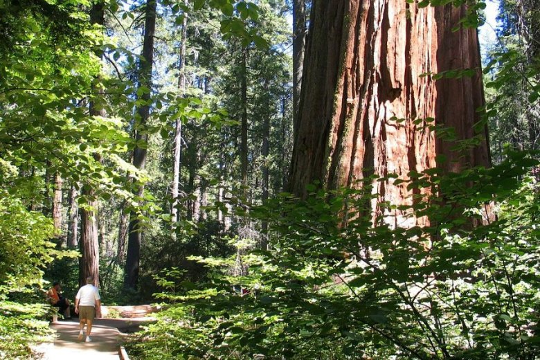 Man walking past Giant Redwood.