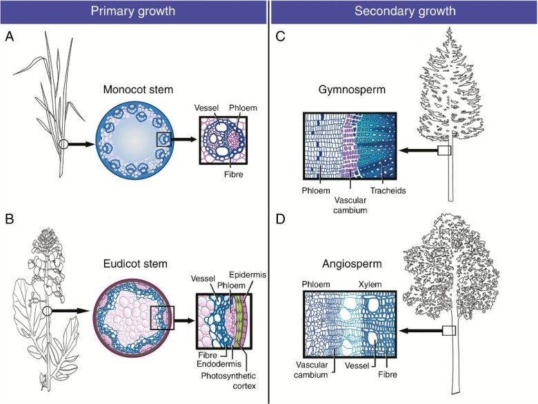 Secondary cell walls in primary and secondary stem growth