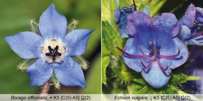 Comparison between flowers of borage and viper's bugloss